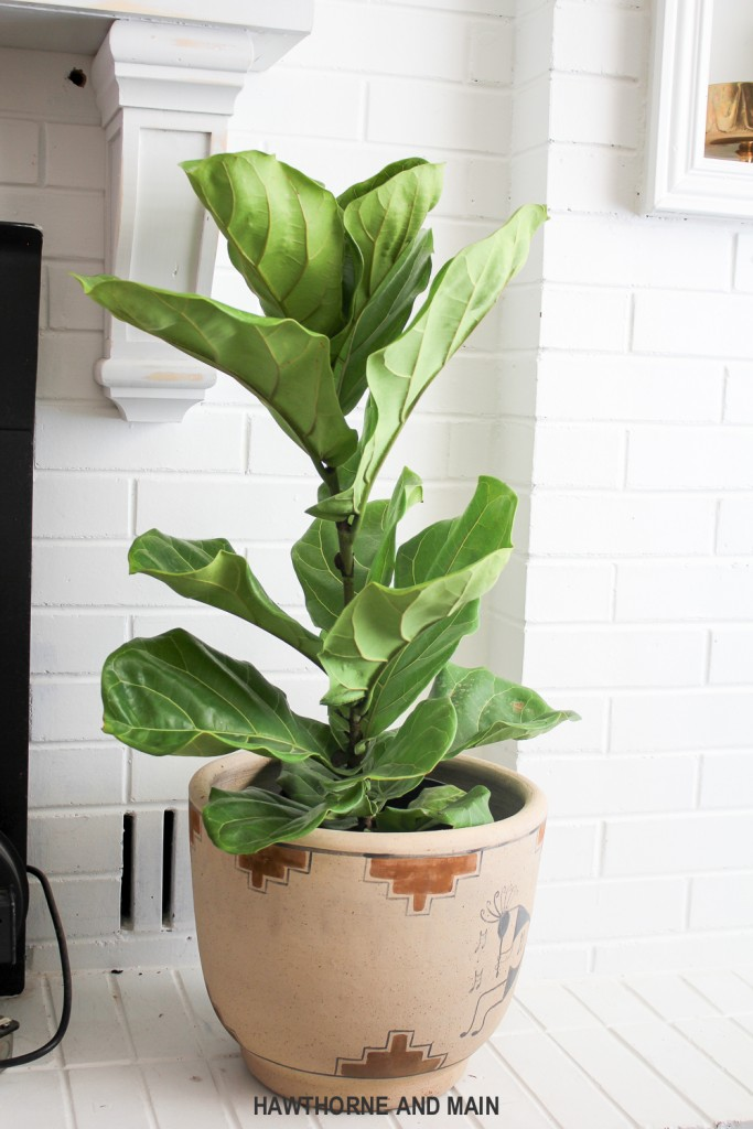 A letter to a dear new family member, our fiddle leaf fig. What tips and tricks do you have to keeping on alive and well?