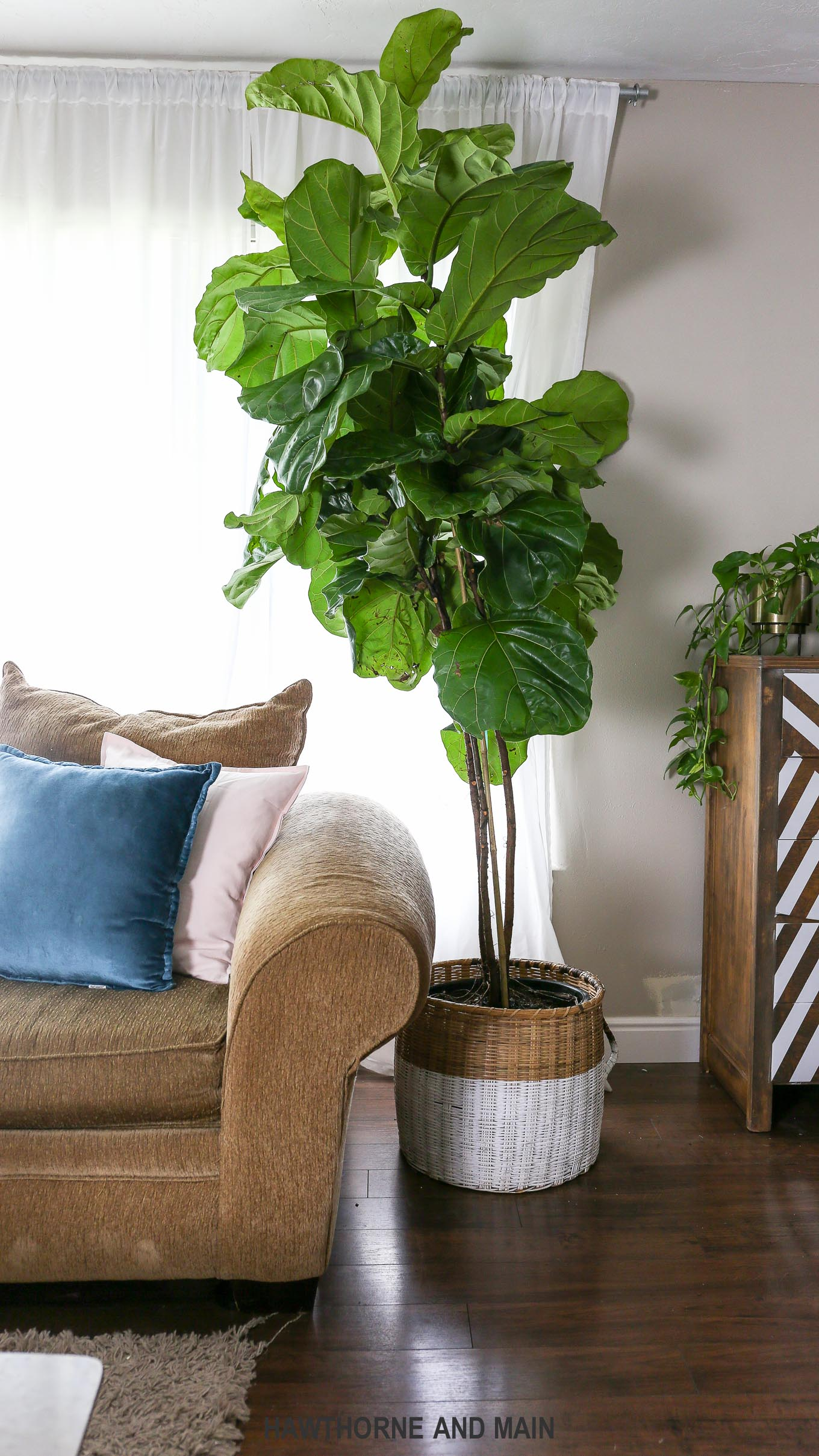 Fiddle leaf fig trees are so pretty.....but how do you take care of them?  Follow these tips for a healthy and happy fiddle leaf fig tree.