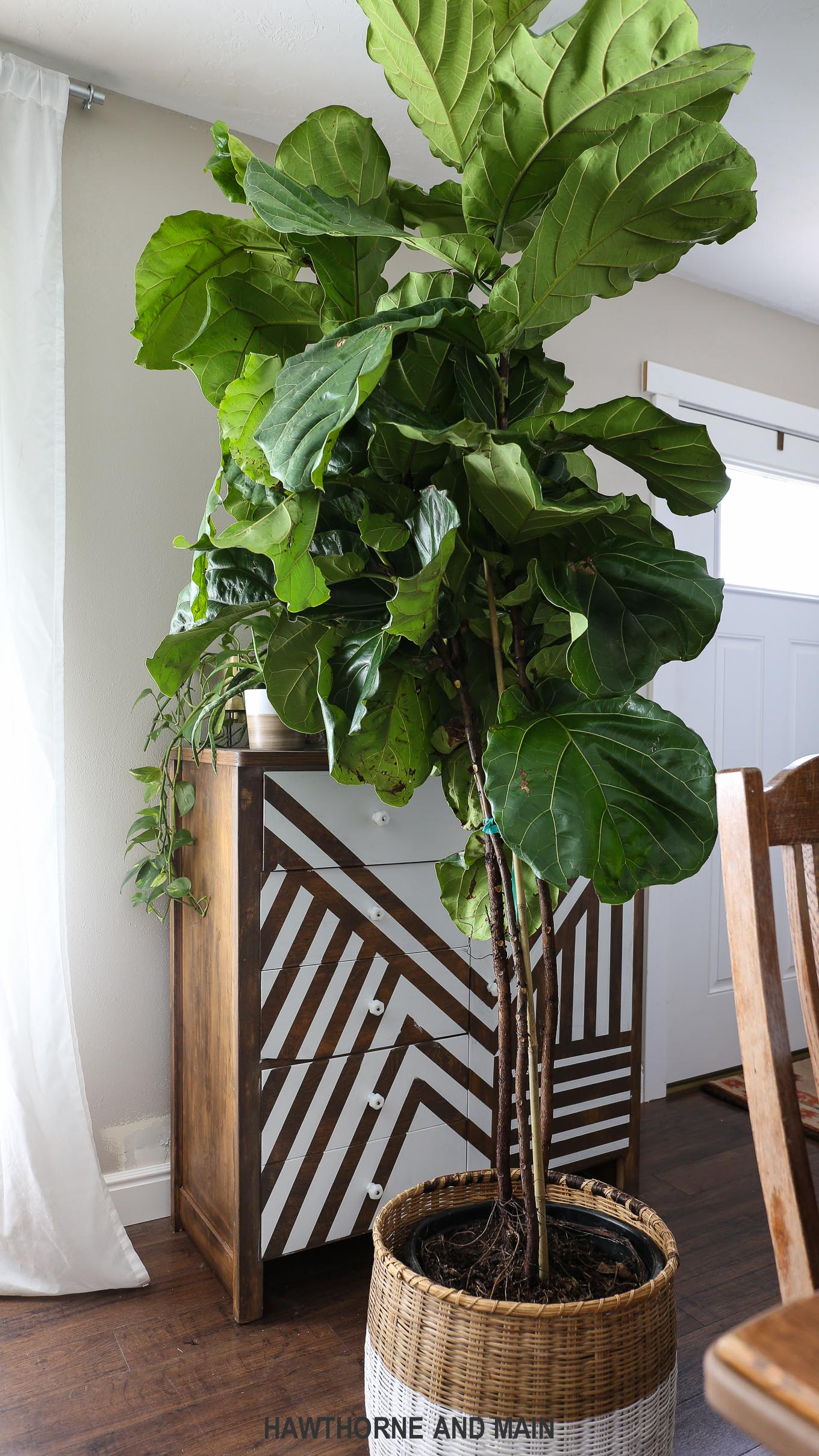 fiddle leaf fig trees are so prettybut how do you - Fiddle Leaf Fig Tree