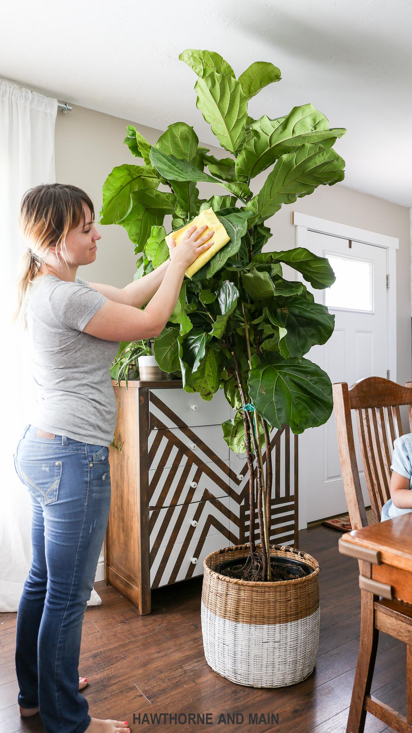 wipe leaves with a clean cotton cloth - Fiddle Leaf Fig Tree